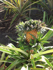 Pinapple plant in Hotel Uyah Amed garden