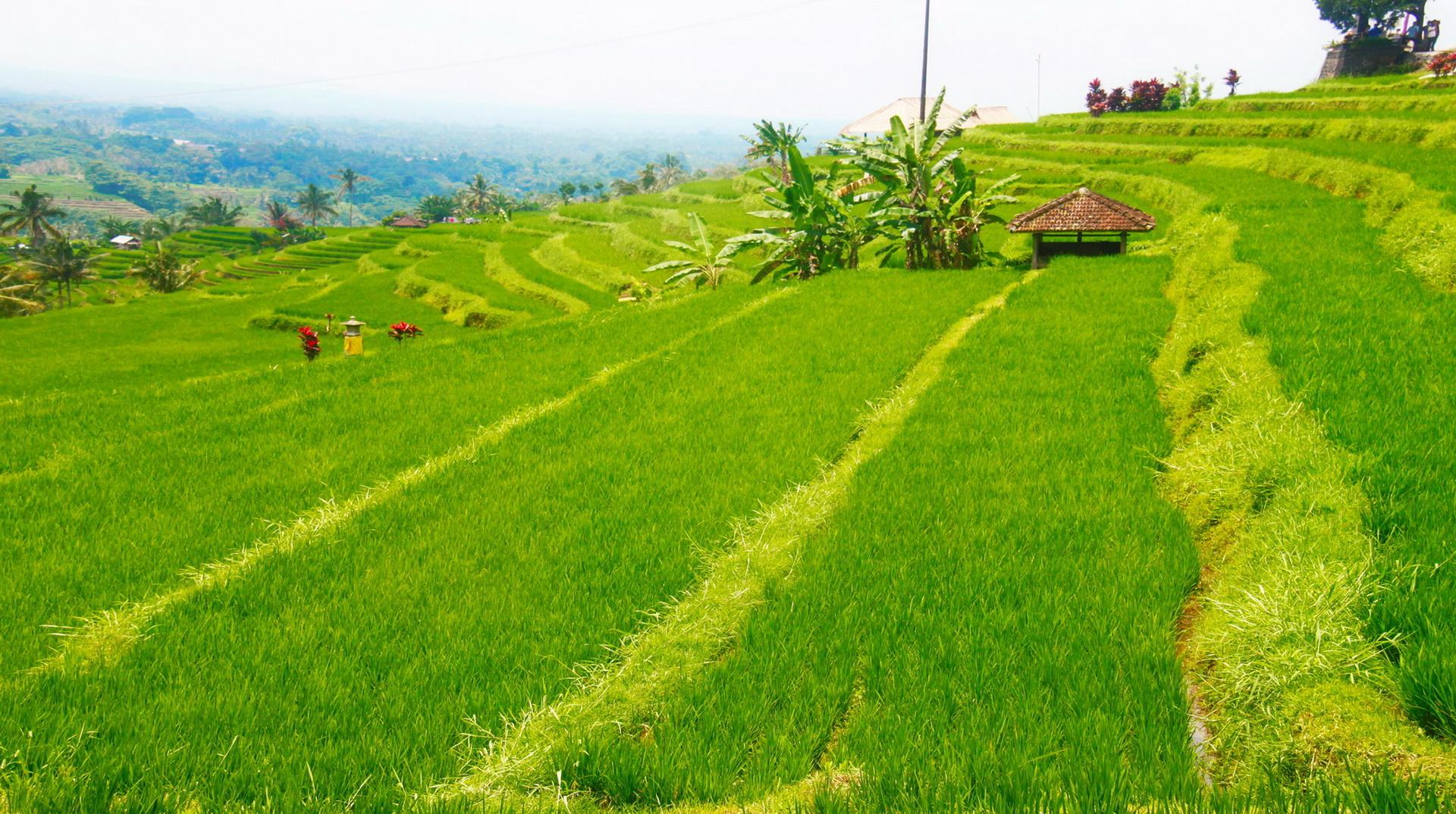 Rice Terrace Amed Bali - rice fields trekking trip
